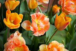 Tulipa 'Apricot Foxx' and 'Charming Beauty' (same as Orange Angelique' and 'Charming Lady')