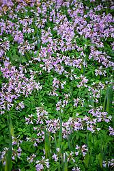 Cardamine quinquefolia - Cuckoo flower