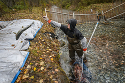 Dylan Burbank, a fish technician for the non-profit Northern Southeast Regional Aquaculture Association, Inc. (NSRAA), tosses a chum salmon ready for sorting and processing at a temporary weir located the man-made spawning channel of Herman Creek near Haines, Alaska.<br /> <br /> NSRAA built the channel to collect wild broodstock by harvesting spawning female and male salmon for their eggs and milt to artificially spawn wild chum salmon. The eggs are fertilized with milt and placed in stream-side incubation boxes on Herman Creek and the Klehini River. In 2014, 2.4 million eggs were seeded into these incubation boxes. The 2013 incubation box survival rate was 90%. Without the artificial spawning, natural survival is said to be only 10%.<br /> <br /> Based in Sitka, Alaska, NSRAA conducts salmon enhancement projects in northern southeast Alaska. It is funded through a salmon enhancement tax (of three percent) and cost-recovery income. NSRAA also produces sockeye, chinook, and coho salmon.<br /> <br /> Male chum salmon return to Herman Creek to spawn with female chum salmon during the fall chum salmon run. The chum salmon return to freshwater Herman Creek, tributary of the Klehini River after living three to five years in the saltwater ocean. Spawning only once, chum salmon die approximately two weeks after they spawn. <br /> <br /> Chilkat River and Klehini River chum salmon are the primary food source for one of the largest gatherings of bald eagles in the world. Each fall, bald eagles congregate in the Alaska Chilkat Bald Eagle Preserve.