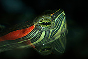 Red Eared terrapin, Trachemys scripta elegans, A tropical freshwater reptile found in Central America Aquarium Photo, portrait, eye, reflection in water