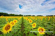 63801-11109 Sunflowers in field Jasper Co.  IL