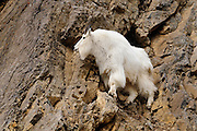 Sure footed mountain goat on a rock perch south of Jackson Hole, WY.