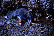 Townsend's mole (Scapanus townsendii) eating earthworm in a subterranean tunnel. Captive