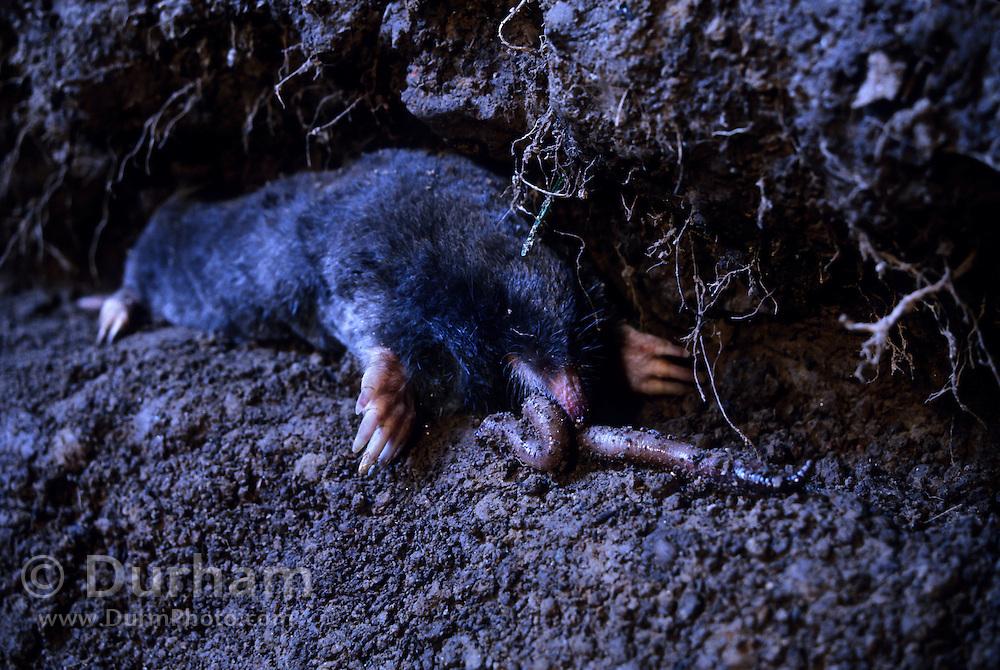Townsend's mole (Scapanus townsendii) eating earthworm in a subterranean tunnel. Captive