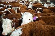 PRICE CHAMBERS / NEWS&GUIDE<br /> Calves wait to be weighed and inspected on weening day at the Lockhart Cattle Company.