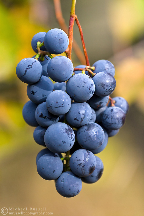 A cluster of organic Concord Grapes (Vitis labrusca) in the Fraser Valley of British Columbia, Canada
