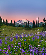First light touches Rainier above a field of lupines that bloom briefly in the summer before hibernating under the snow all winter.
