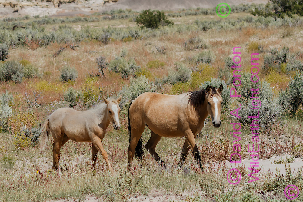 Mare and foal walking in arid sage grassland in north-western New Mexico, © David A. Ponton