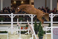 042, Nesquick De La Liniere<br /> BWP Hengsten keuring Koningshooikt 2015<br /> © Hippo Foto - Dirk Caremans<br /> 21/01/16
