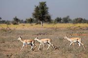Blackbuck hinds, female antelope, Antilope cervicapra, near Rohet in Rajasthan, North West India