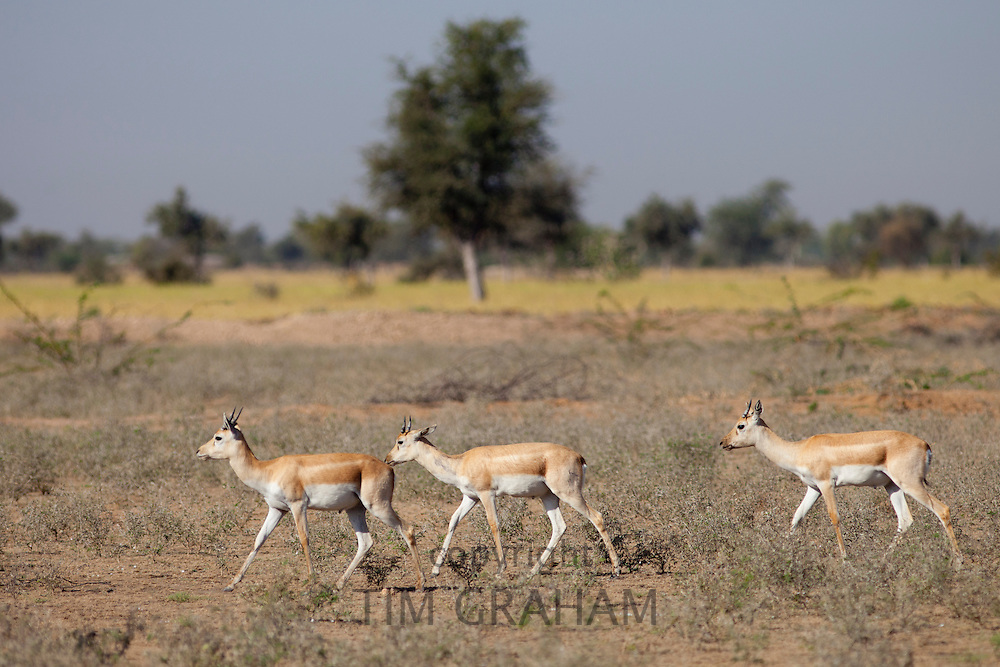 Blackbuck hinds, female antelope, Antilope cervicapra, near Rohet in Rajasthan, North West India
