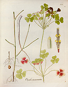 Wood sorrel (Oxalis incarnata AKA pale pink-sorrel[1] and crimson woodsorrel). Illustration from 'Oxalis Monographia iconibus illustrata' by Nikolaus Joseph Jacquin (1797-1798). published 1794