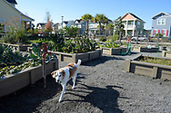 A family dog walks through a community vegetable garden in the Laureate Park neighborhood of the Lake Nona development in Orlando, Fla., Saturday, Jan. 30, 2016. (Phelan M. Ebenhack via AP)