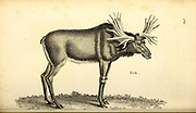 Elk from General zoology, or, Systematic natural history Vol II Part 2 Mammalia, by Shaw, George, 1751-1813; Stephens, James Francis, 1792-1853; Heath, Charles, 1785-1848, engraver; Griffith, Mrs., engraver; Chappelow. Copperplate Printed in London in 1801 by G. Kearsley