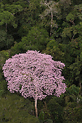 Rainforest Canopy with emergent flowering tree in Yasuni National Park.<br /> Amazon Rain Forest. ECUADOR. South America