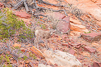 A close-up of a desert bighorn lamb in Zion National Park in Southern Utah. I was hiking through the hills when in the early evening I came upon a large group of about thirty individuals, including other rams, ewes, and lambs. It took me an hour to get this close for this shot.