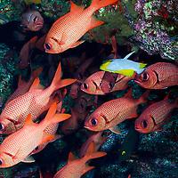 Brick Soldierfish, Myripristis amaena, (Castelnau, 1873), Maui Hawaii
