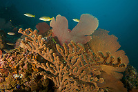 """Rich growth of sea fans and soft corals cover the steep slopes in an area of high current and surge which bringing rich nutrients to these filter feeders.<br /> <br />Coiba Island, <br />Coiba National Park, Panama<br />Tropical Eastern Pacific Ocean<br /><br />'Hatchet Rock"""" dive siter"""