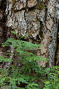 The Western Hemlock sapling was growing out of the base of this Douglas Fir snag.