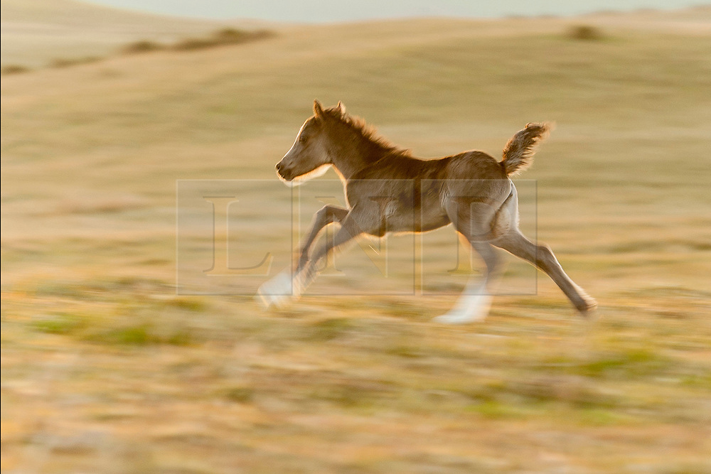© Licensed to London News Pictures. 20/05/2020. Builth Wells, Powys, Wales, UK. A foal gets frisky and tears around. Welsh mountain ponies and foals relax on the Mynydd Epynt range, on a beautiful warm sunny evening near Builth Wells in Powys,Wales, UK. Photo credit: Graham M. Lawrence/LNP