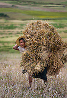 SHAN PROVINCE, MYANMAR - CIRCA DECEMBER 2013: Young farmer carrying harvested sticky rice in the countryside.