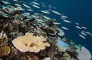 Threestripe Fusilier (Pterocaesio trilineata)<br /> and coral reef<br /> Fiji. South Pacific<br /> Diversity