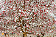 Mountain ash tree loaded with fresh snow on Christmas in Whitefish, Montana, USA