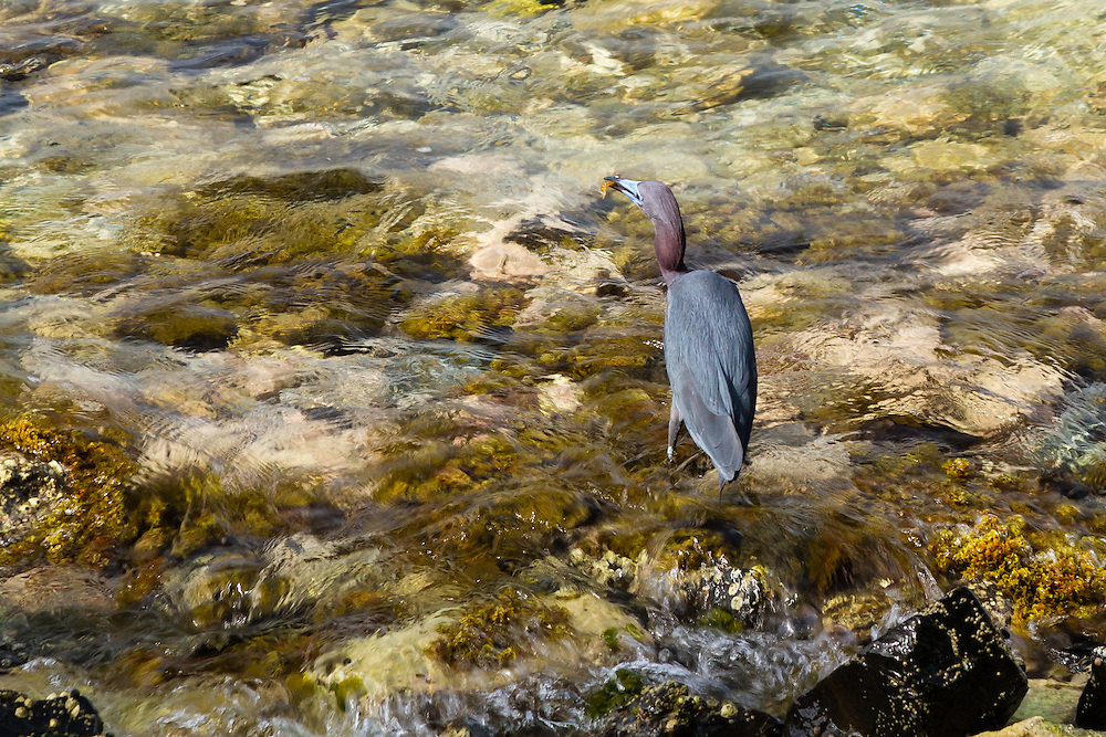 The Little Blue Heron (Egretta caerulea) hunts proficiently in the shallow waters of the Caribbean. Here, he snags some sort of wrasse, surely prized in any aquarium.