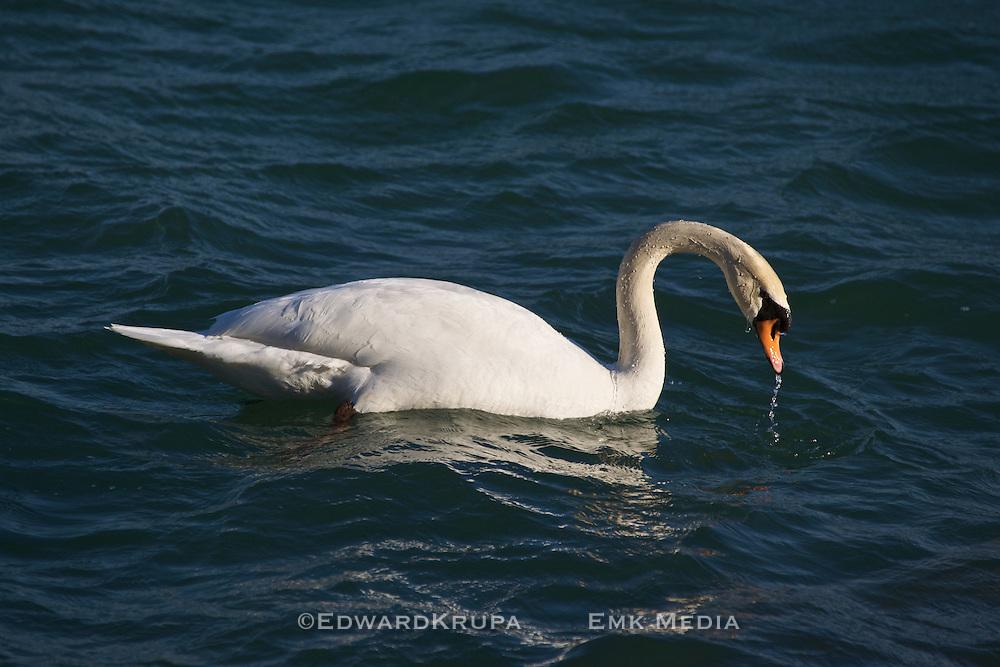 White swan in Lake Ontario