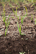 Onion starts growing in ground in the winter.