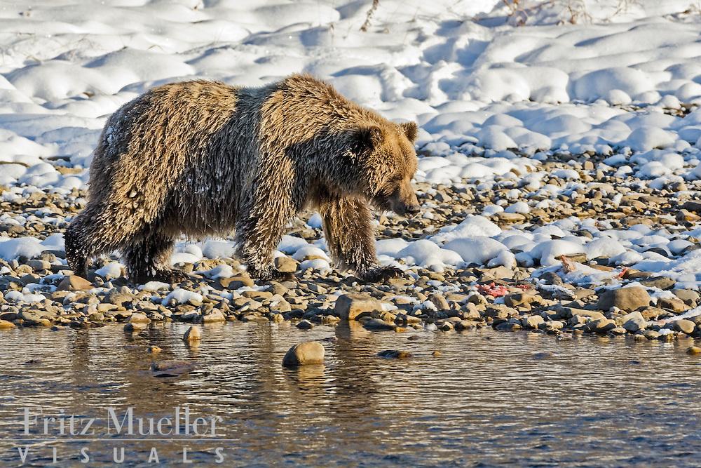 Grizzlies at Bear Cave Mountain in Ni'iinlii Njik (Fishing Branch)Territorial Park, North Yukon
