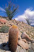 Spiny barrel cactus (Ferocactus acanthodes) and ocotillo in bloom in the Tierra Blanca Mountains, Anza-Borrego Desert State Park, California.