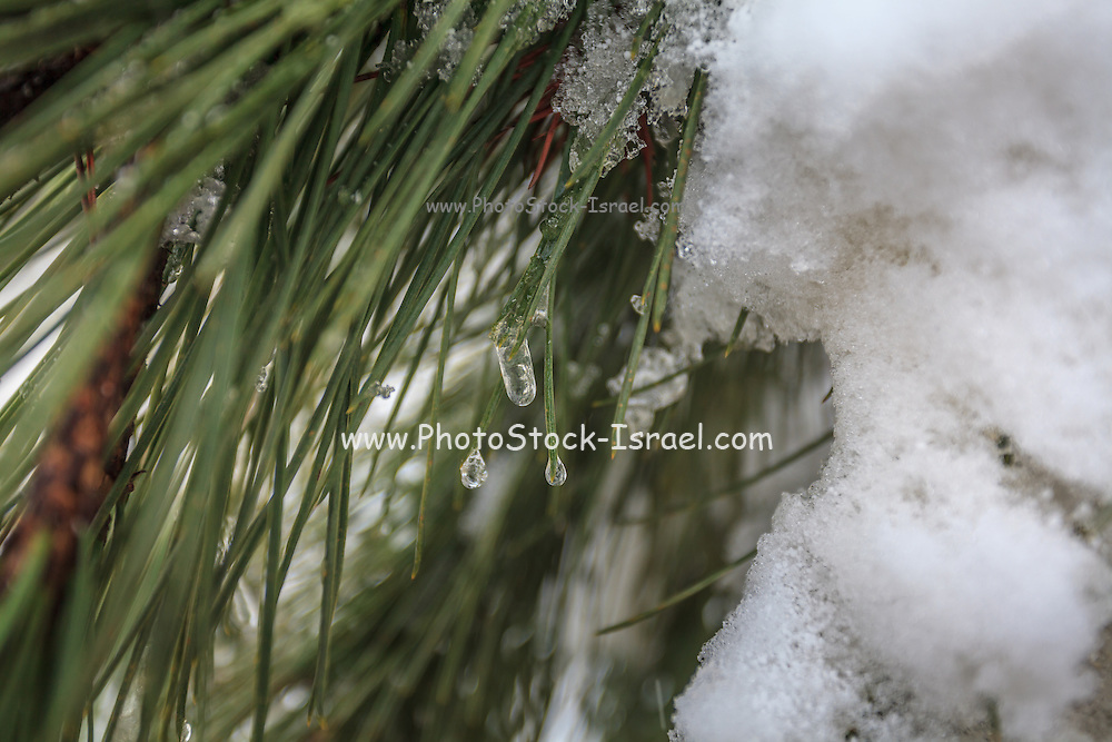 Close-up of pine leaves in snow. Photographed at Odem Forest, Golan Heights, Israel