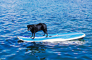 Dog on surfboard, Oahu, Hawaii *****Property Release available