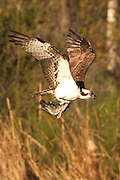Osprey in flight clutching a freshly caught fish in its talons.