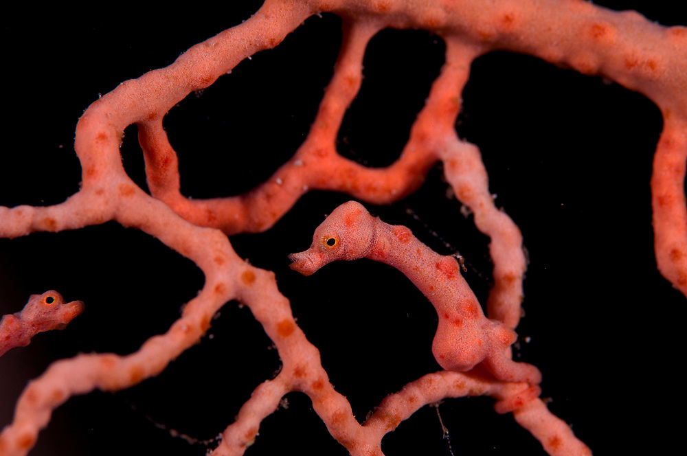 A Denise's Pygmy Seahorse (Hippocampus denise) on a coral seafan. Kimbe Bay, Papua New Guinea