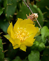 Yellow Prickly Pear Flower. Image taken with a Leica CL camera and 90-280 mm lens.