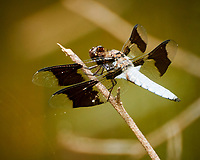 Dragonfly. Image taken with a Nikon 1 V3 camera and 70-300 mm VR lens.