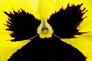Yellow Viola or Pansy flower, close-up, Oxfordshire, UK.