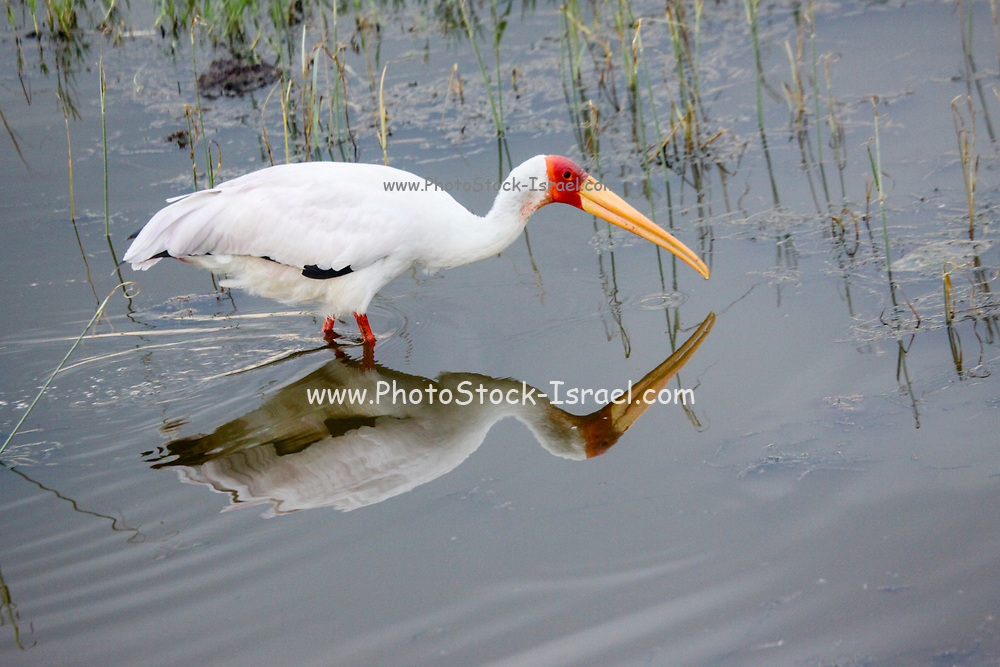 Yellow-billed stork (Mycteria ibis) feeding in a shallow pond. These wading birds often forage socially and use the tactic of herding their prey species into shallow water. They are alternatively called the wood stork or wood ibis. Photographed in Kenya
