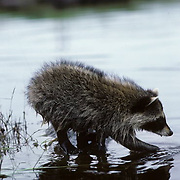 Raccoon, (Procyon lotor) Young female fishing for food along river edge. Summer .  Captive Animal.