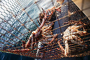 A diver pulls a fishing net, filled with King Crab, onto his boat in Jarfjord, near Kirkeness, Finnmark region, northern Norway