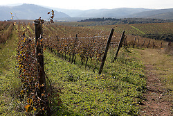 Rionero in V. (PZ) Ottobre 2010 - Vitigni di Aglianico del Vulture doc nella zona del Vulture.