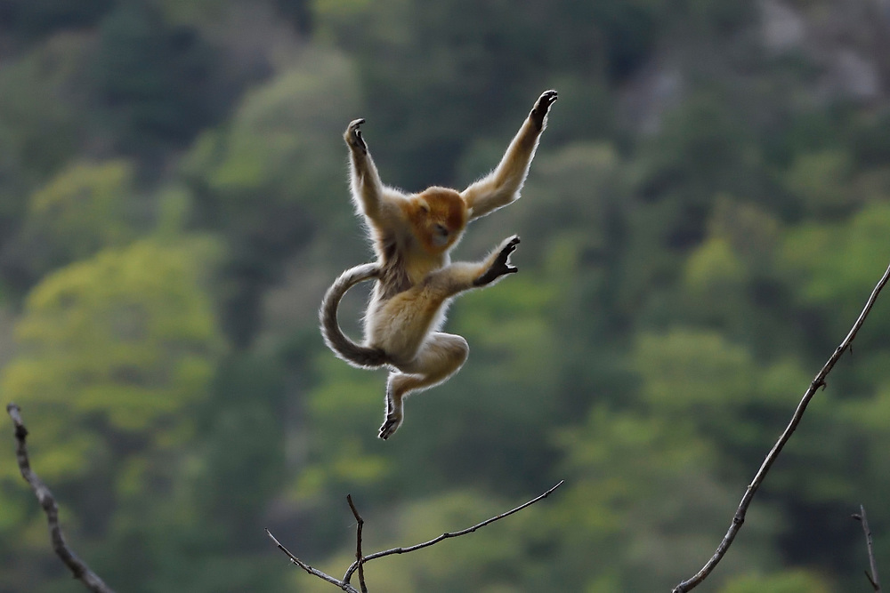 A jumping Golden Snub-nosed Monkey, Rhinopithecus roxellana, doing a jump to the next tree in Foping Nature Reserve, Shaanxi, China