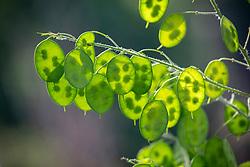 Light shining through green honesty seedpods - Lunaria annua