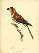 Vouroug-driou female from the Book Histoire naturelle des oiseaux d'Afrique [Natural History of birds of Africa] Volume 5, by Le Vaillant, Francois, 1753-1824; Publish in Paris by Chez J.J. Fuchs, libraire 1799
