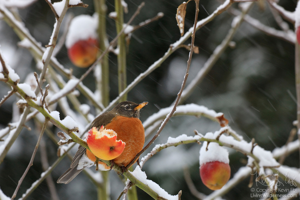 An American Robin (Turdus migratorius) feasts on an apple during a snowy winter storm in Western Washington.
