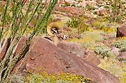 Peninsular Bighorn Sheep (Ovis canadensis cremnobates), Anza-Borrego Desert State Park, California USA