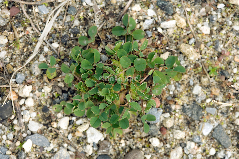 overhead view of clover growing outdoors