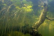 Underwater Scene (Lillies and Birch Tree)<br /> <br /> Engbretson Underwater Photography